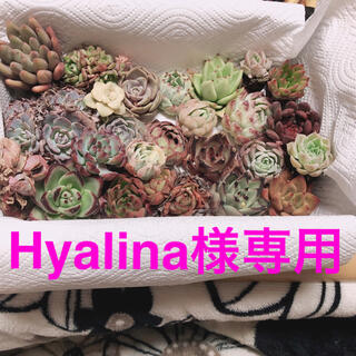 Hyalina様専用  韓国多肉植物25苗セット(その他)