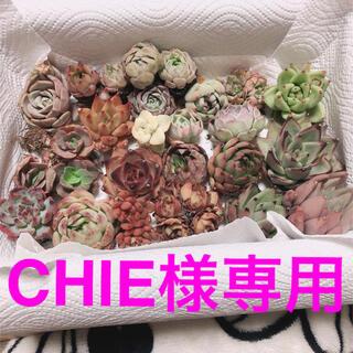 CHIE様専用  韓国多肉植物 24種セット(その他)