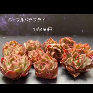 パープルバタフライ 多肉植物(その他)