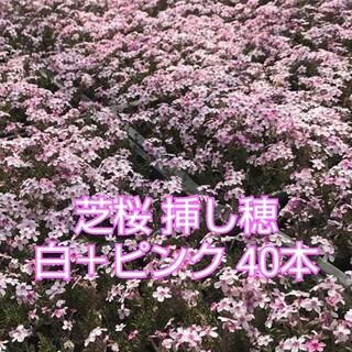芝桜 挿し穂 白+ピンク 40本(その他)