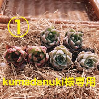 kumadanuki様専用 韓国多肉植物 3種6苗セット①❤お名前つけます(その他)