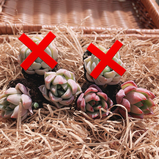 SALE‼️韓国多肉植物 2種4苗セット❤お名前つけます(その他)