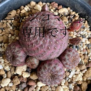 多肉植物 サボテン レブチア 赤ラウシー(その他)