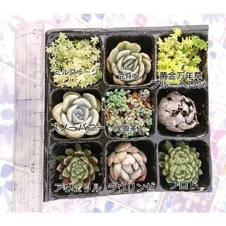 * 多肉植物 9種類 小苗セット 韓国苗入り(その他)
