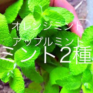 無農薬アップルミント&オレンジミント(その他)