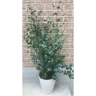 《現品》ユーカリ・グニー 樹高0.9m(鉢含まず)21【鉢/苗木/植木】(その他)