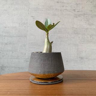アデニウムアラビカム 鉢植え 観葉植物(その他)