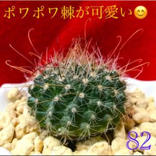 【82】ポワポワトゲがキュート(*^^*) 玉サボテン マミラリア 抜き苗(その他)