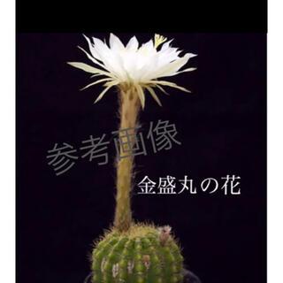 【55】玉サボテン 金盛丸  キンセイマル  艶々美苗  抜き苗(その他)