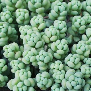 多肉植物 セダム パープルヘイズ 25カット(その他)