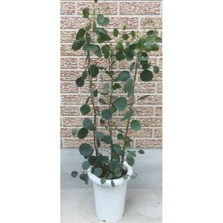 《現品》ユーカリ・ポポラス 樹高0.7m(鉢含まず)41【鉢/苗木/鉢植え】(その他)