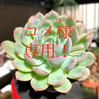 エケベリア 花うらら②❣️美苗 抜き苗(その他)