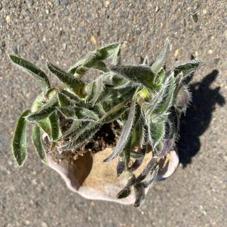 観葉植物 銀毛冠 トラデスカンチア(ドライフラワー)
