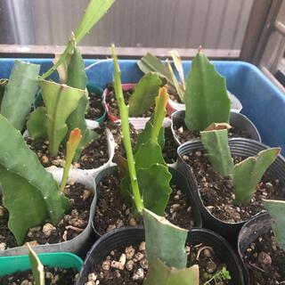 観葉植物 多肉植物  クジャクサボテン  多分白 挿し穂3本(その他)