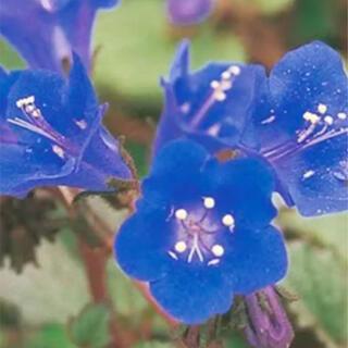 花の種 カリフォルニアブルーベル 種 (その他)