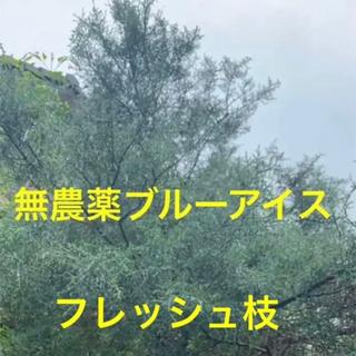 ブルーアイス(生枝33cmと23cm)⭐️スワッグ/リース/ 生花などに(その他)