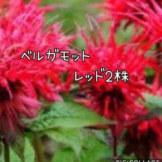 ベルガモット 花苗 レッド2株set(その他)