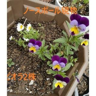 🌸ノースポールちび苗(現物1株)&ビオラ紫x黄色(ちび苗複数送ります)(プランター)