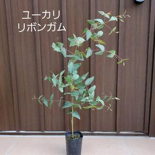 ジュンコ様ご連絡ページ ユーカリ(リボンガム) ポット苗 シンボルツリー♪(プランター)