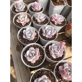 ピンクラウイ 多肉植物(その他)