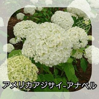 アメリカアジサイ アナベル白花(プランター)