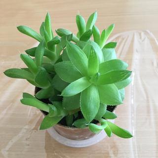 ハオルチア ウンプラティコラ 多肉植物 抜き苗(その他)