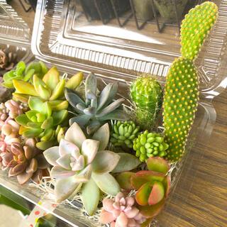 【サボテン2種入り】多肉植物 ✦カット苗✦大きめ✦寄せ植えに(その他)