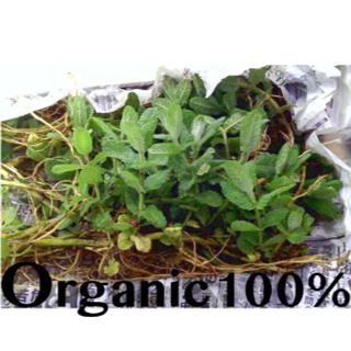 ハーブ 苗【アップルミント】地下茎 大容量 オーガニック100%(その他)