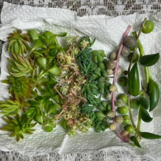 多肉植物 セダム カット苗 植物 寄せ植えなどに(その他)
