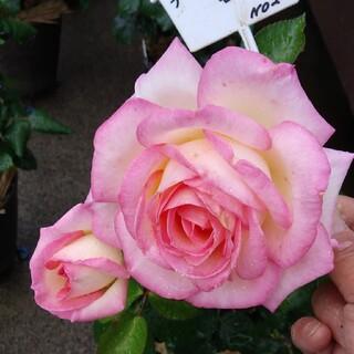 薔薇🌹『プリンセス・ドゥ・モナコ』🌹挿し木苗(ドライフラワー)