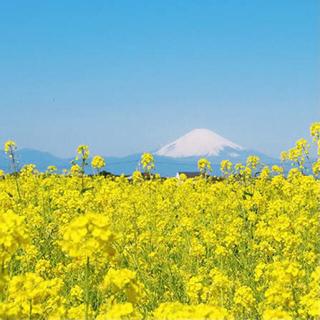 【最安値】菜の花 種 21g(大容量!6300粒以上!)(その他)