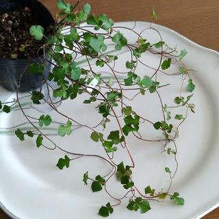 ① スペードワイヤープランツ 苗 寄せ植え(その他)