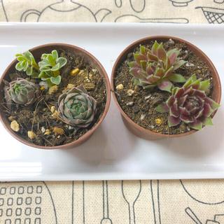 多肉植物☆センペル2種セット&おまけセダム(その他)