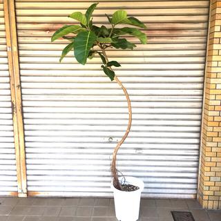 現品 背高い 曲がり樹形  フィカス アフリカンプリンス 10号(プランター)
