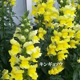 春まき花の種  キンギョソウ・黄色と赤色とピンク色を各50粒(その他)