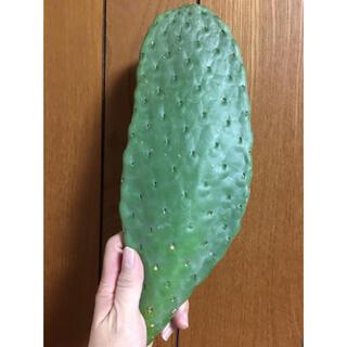 トゲなしウチワサボテン カット苗(その他)