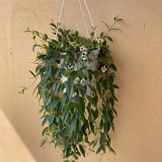 観葉植物 コドナンテ 吊鉢(その他)