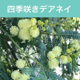 大人気【◆四季咲きデアネイ1苗◆】【第四種郵便】【画像と同等】(その他)