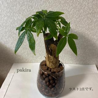 パキラ 観葉植物 ハイドロカルチャー(ドライフラワー)
