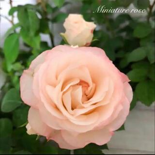 ◆数量限定【ラブリーモア】シェルピンク◆四季咲き◆ミニバラ ◆【鉢ごと】2ポット(その他)