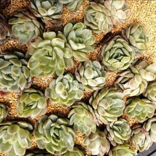 韓国苗 エケベリア ピンクネーション 双頭 群生 小 多肉植物(その他)