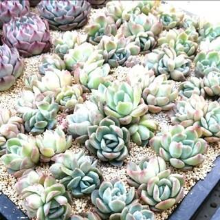 韓国苗 エケベリア スレイン×アイスグリーン 双頭 群生 多肉植物(その他)