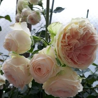 はまちゃん様専用 美しいバラ4種(その他)