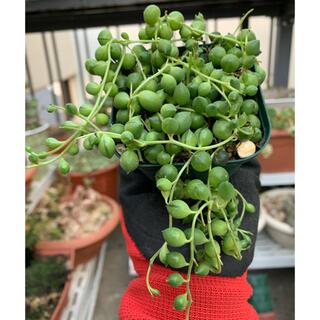 多肉植物 グリーンネックレス②もりもり❣️抜き苗(その他)