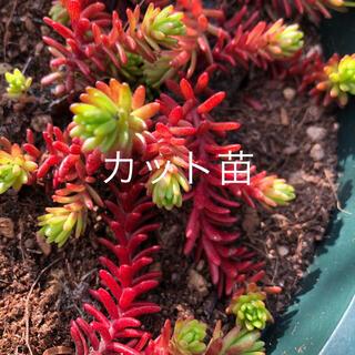 ♪多肉植物♪ セダム 紅葉 クラシーノ カット苗 20本 ╰(*´︶`*)╯♡(その他)