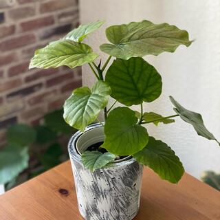 観葉植物 フィカス・ウンベラータ セメント鉢カバー付き2(その他)