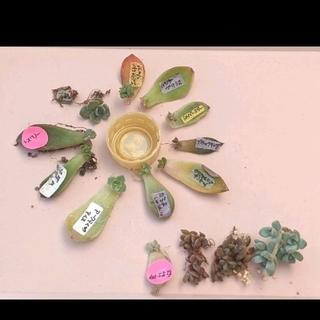 多肉植物◆葉挿し10種類セット◆A (全て発芽・発根済み)(その他)