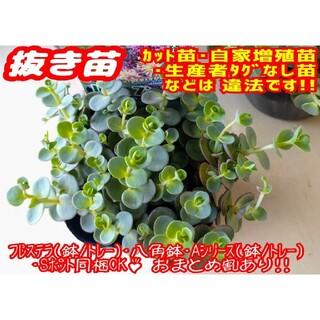 ◆超レア◆【抜き苗】ライムジンガー 多肉植物 セダム 紅葉 プレステラ プラ鉢(その他)