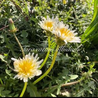 ◆シロバナタンポポ【白花蒲公英】種子◆30粒(その他)