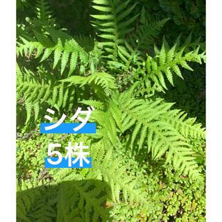 シダ 5株(その他)